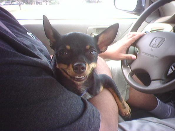 Evil Chihuaha Grin